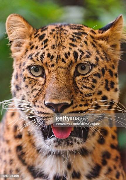 Portrait of very cute amur leopard
