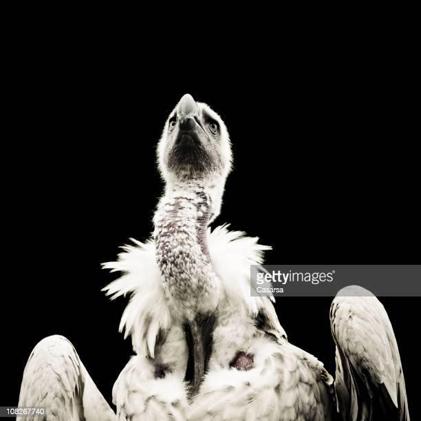 Portrait of Vulture Bird, Black and White
