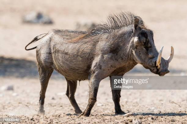 portrait of warthog (phacochoerus africanus), kalahari, botswana africa - facocero foto e immagini stock