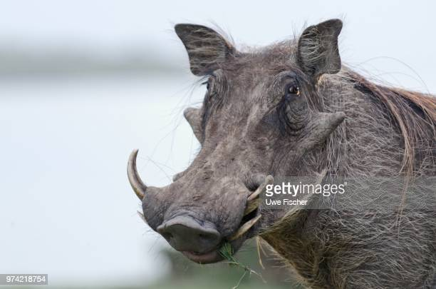 Portrait of warthog (Phacochoerus africanus), Namibia