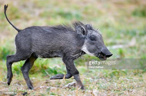 portrait of warthog (phacochoerus africanus) piglet running through the bush plains - facocero foto e immagini stock