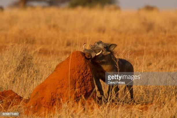 portrait of warthog (phacochoerus aethiopicus), tarangire national park, tanzania, africa - facocero foto e immagini stock