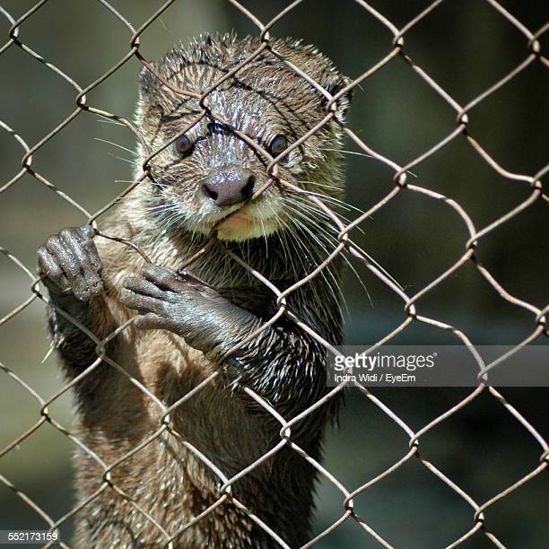 Portrait Of Weasel Behind Fence