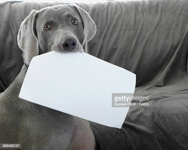 Portrait Of Weimaraner Holding Paper In Mouth At Home