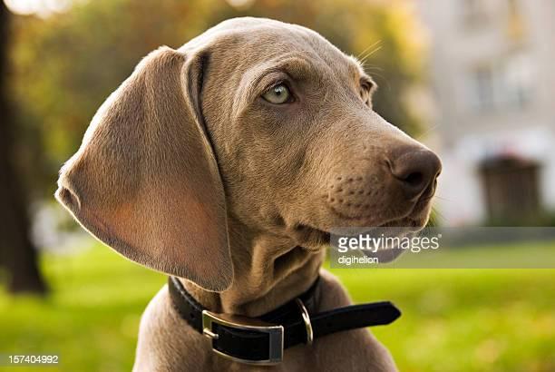 portrait of weimaraner puppy