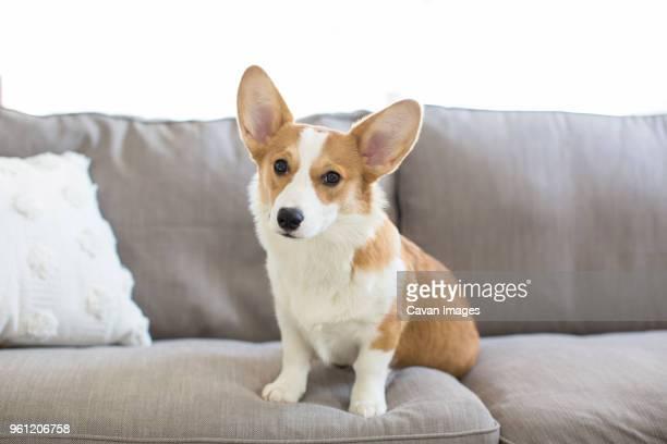 portrait of welsh corgi sitting on sofa at home - pembroke welsh corgi stock pictures, royalty-free photos & images