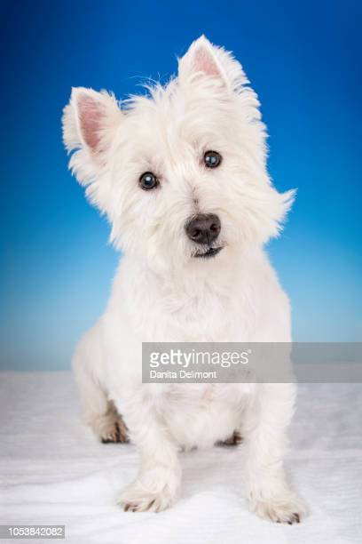 portrait of west highland white terrier (canis familiaris) in studio setting - terrier stock pictures, royalty-free photos & images