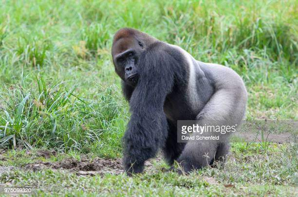 portrait of western lowland gorilla (gorilla gorilla gorilla), bayanga, central african republic - gorilla stock pictures, royalty-free photos & images