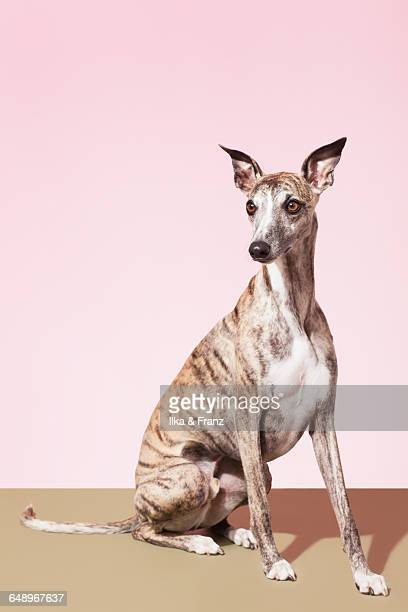 Portrait of Whippet Dog
