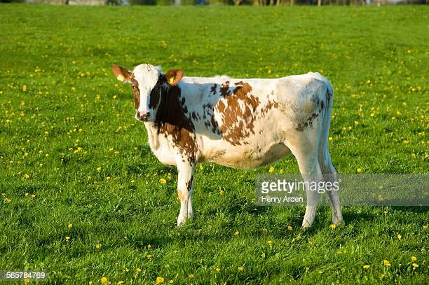 Portrait of white and brown cow in spring field