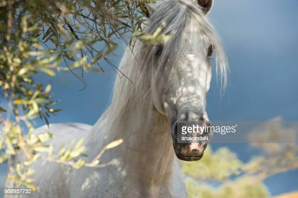 portrait of white Andalusian stallion in olive garden at dramatic sky background