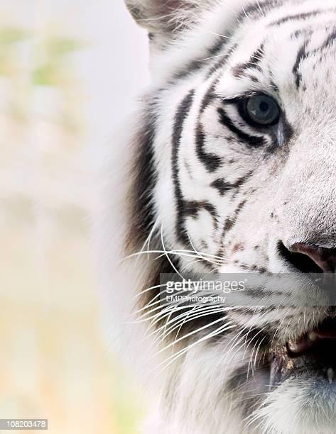 Bengal Tiger のポートレート、白
