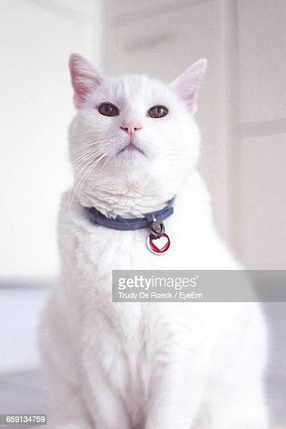 portrait of white cat home - halsband bildbanksfoton och bilder