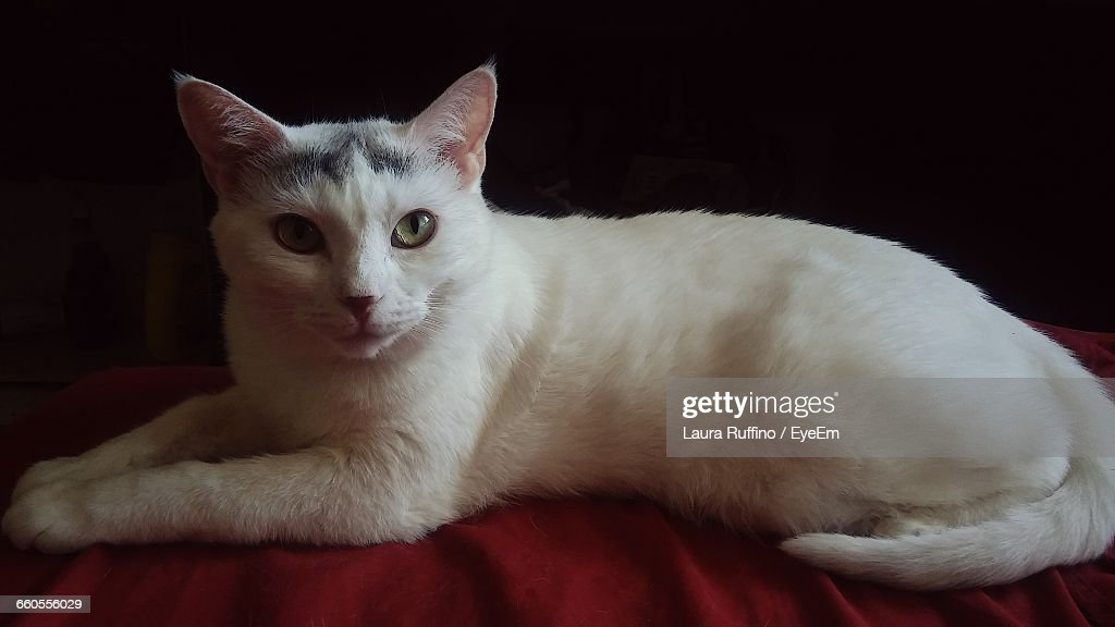 Portrait Of White Cat Lying On Red Fabric Against Black Background : Stock Photo