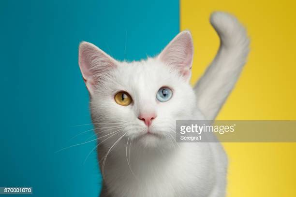 Portrait of White Cat on Blue and Yellow Background