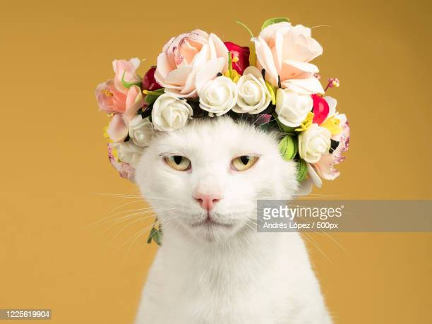 portrait of white cat with garland on head on orange background - images stock pictures, royalty-free photos & images