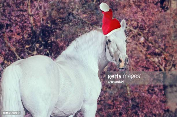 portrait of white christmas percheron draft horse at forest background - christmas horse stock pictures, royalty-free photos & images