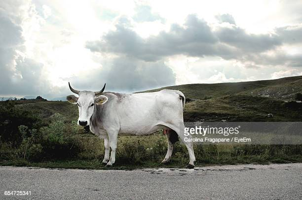 portrait of white cow standing at roadside against sky - carolina fragapane stock pictures, royalty-free photos & images
