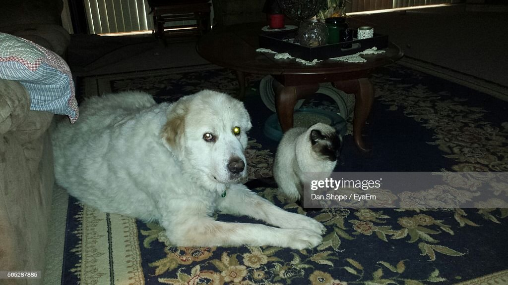 Portrait Of White Dog With Cat Sitting On Area Rug At Home Stock Photo