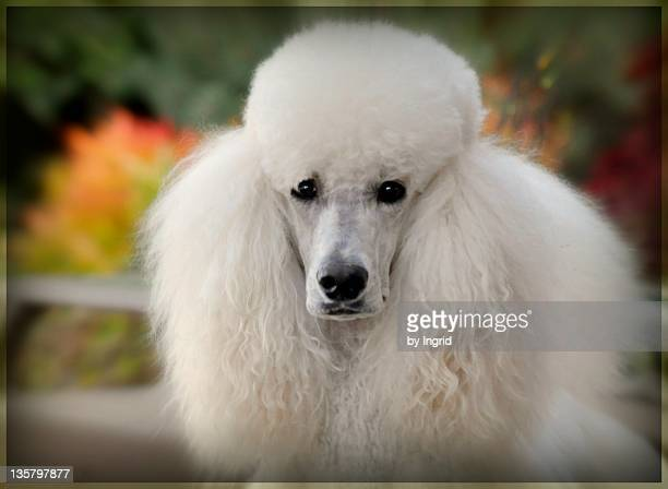 portrait of white hairy puppy - standard poodle stock photos and pictures