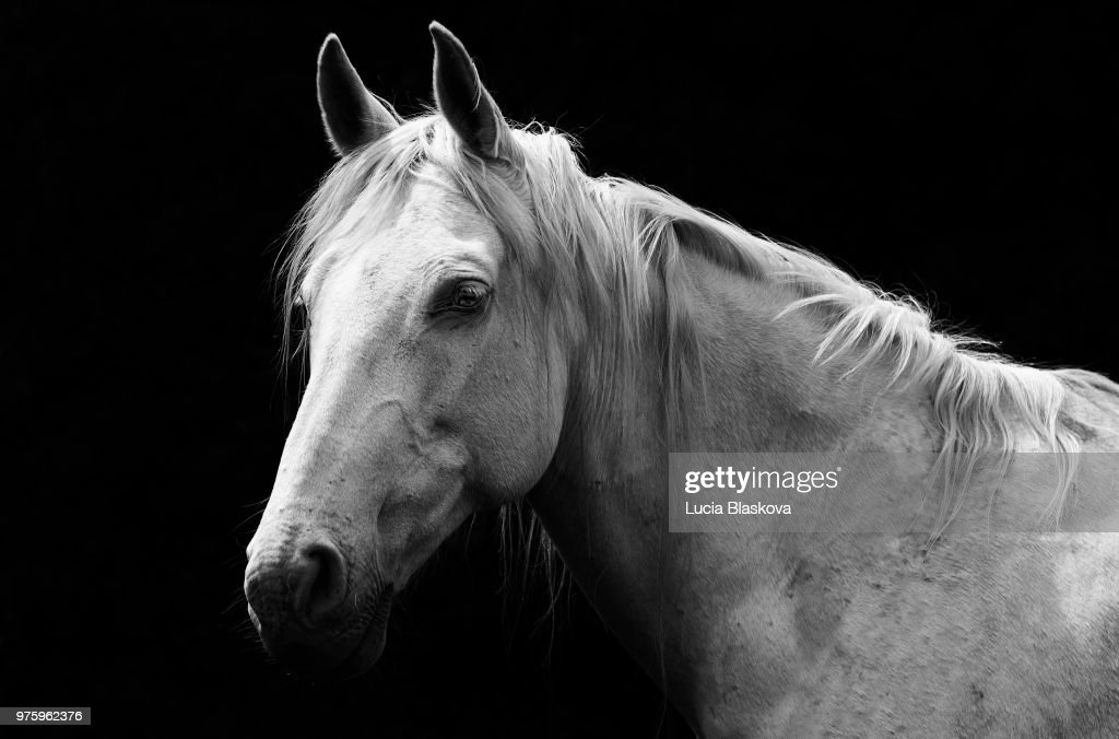 Portrait Of White Horse Against Black Background High Res Stock Photo Getty Images