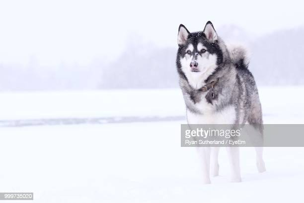 portrait of white horse on snow against sky - sled dog stock pictures, royalty-free photos & images