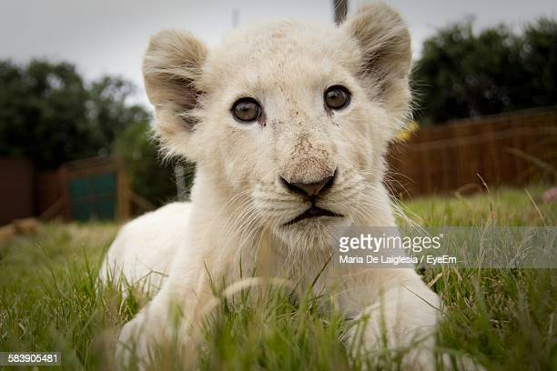 Portrait Of White Lion Cub Relaxing On Grassy Field