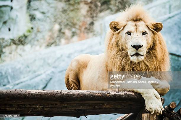 Portrait Of White Lion On Wood By Den
