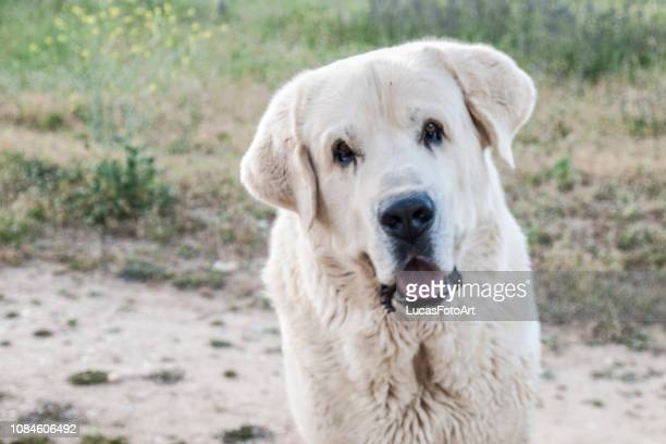 Portrait of white mastiff dog looking at the camera