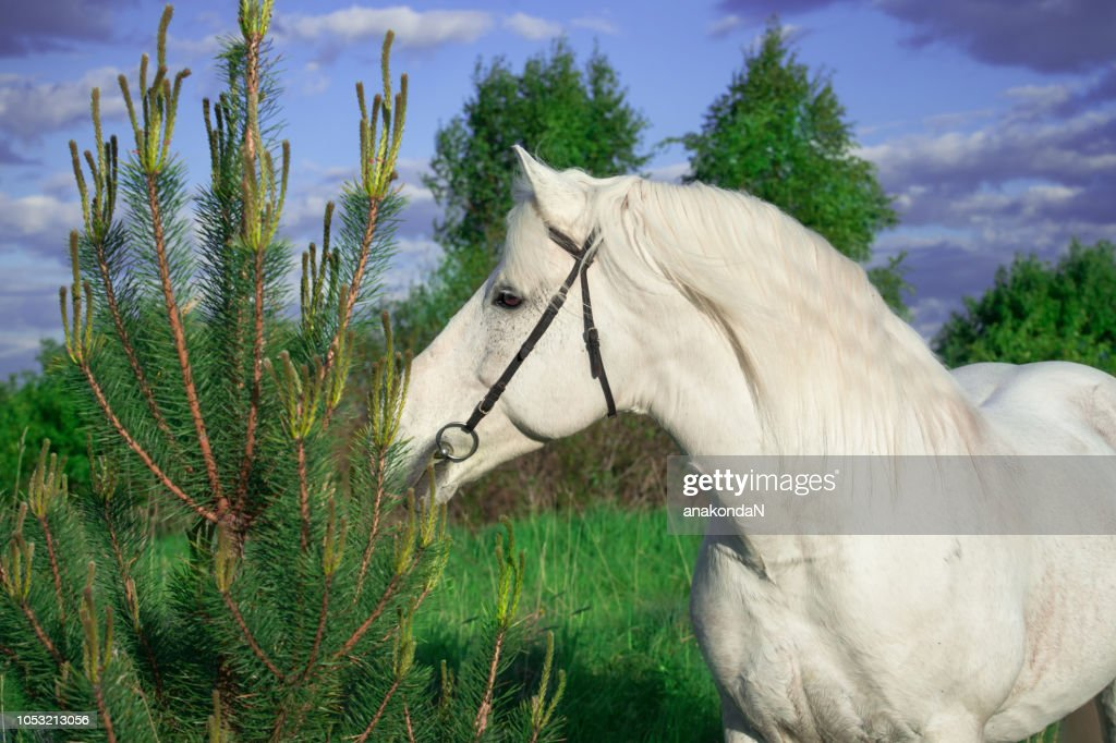 Portrait Of White Percheron Draft Horse At Forest Background High Res Stock Photo Getty Images