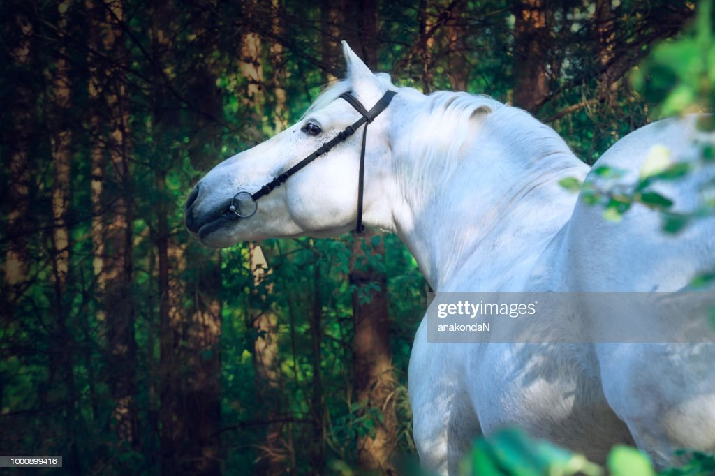 Portrait Of White Percheron Draft Horse In Forest Foto De Stock Getty Images
