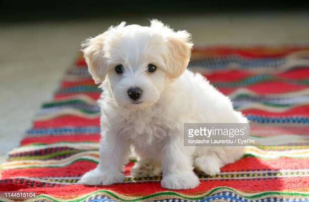 portrait of white puppy sitting on carpet - terrier stock pictures, royalty-free photos & images