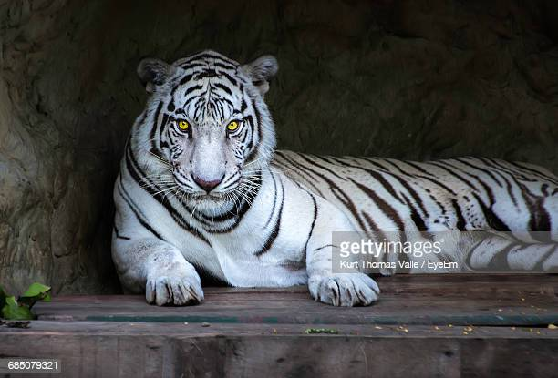 Portrait Of White Tiger Lying On Wood Against Rock Formation At Zoo