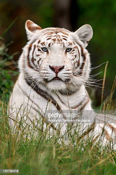 portrait of white tiger - white tiger stock photos and pictures