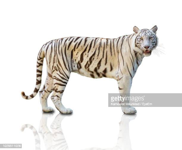 Portrait Of White Tiger Standing On White Background