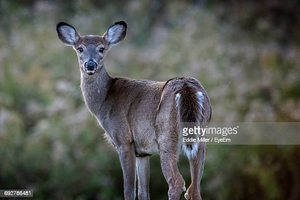 Portrait Of White-Tailed Deer Against Plants