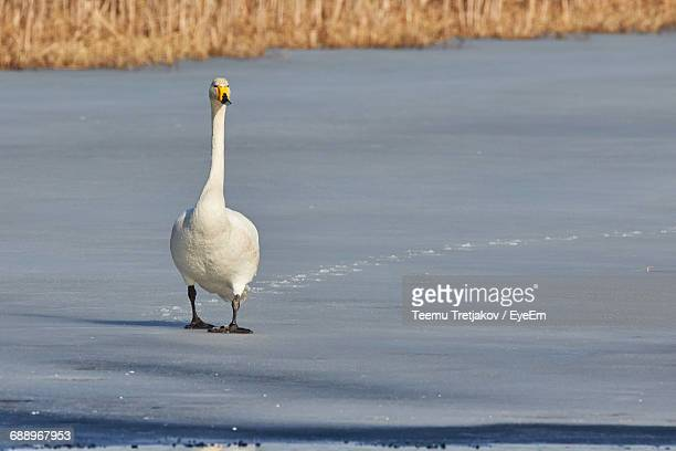 portrait of whooper swan at frozen lakeshore - teemu tretjakov stock pictures, royalty-free photos & images