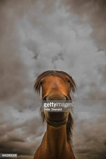 portrait of wild pony - lymington fotografías e imágenes de stock