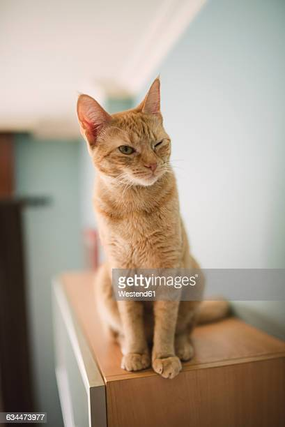 Portrait of winking tabby cat sitting on top of cabinet at home