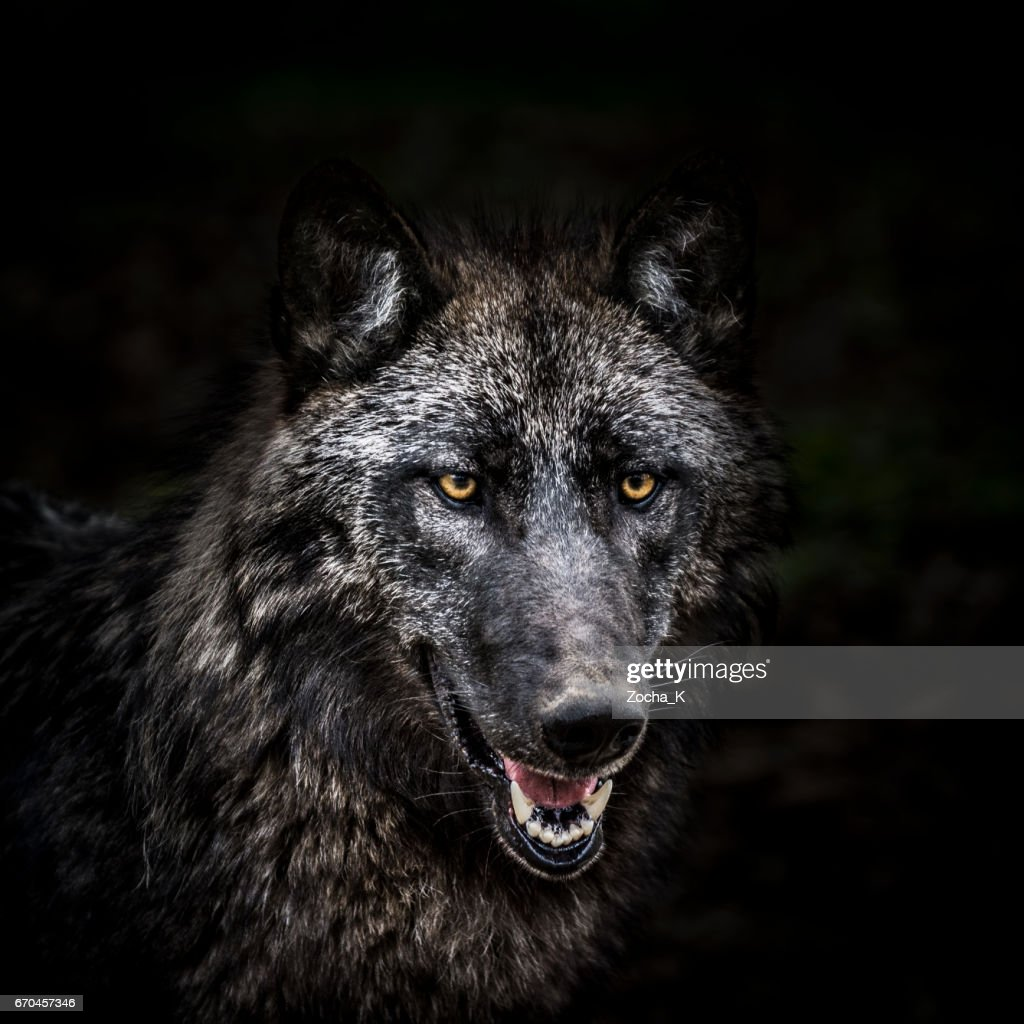 Portrait of wolf in forest : Stock Photo