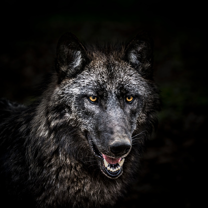 Portrait of wolf in forest 670457346