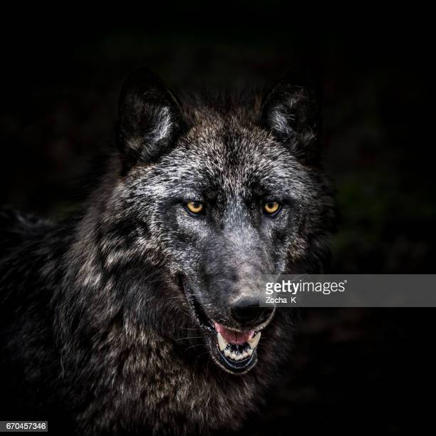 Portrait of wolf in forest