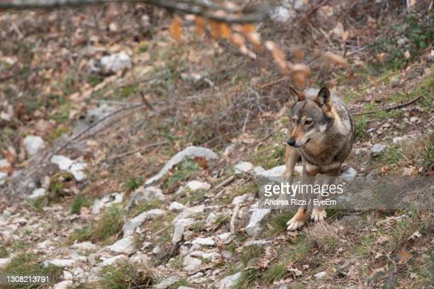 portrait of wolf on mountain - andrea rizzi stock pictures, royalty-free photos & images