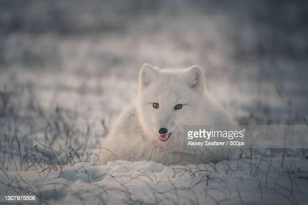 portrait of wolf standing on field - fuchspfote stock-fotos und bilder