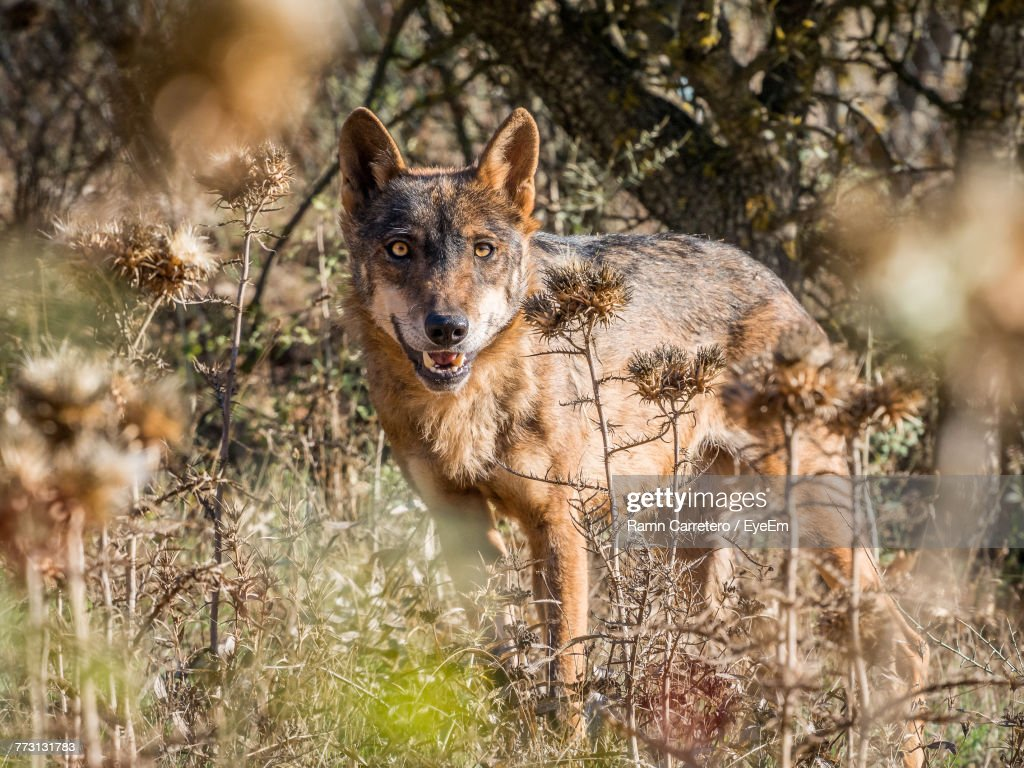 Portrait Of Wolf Standing On Grassy Field In Forest : Photo