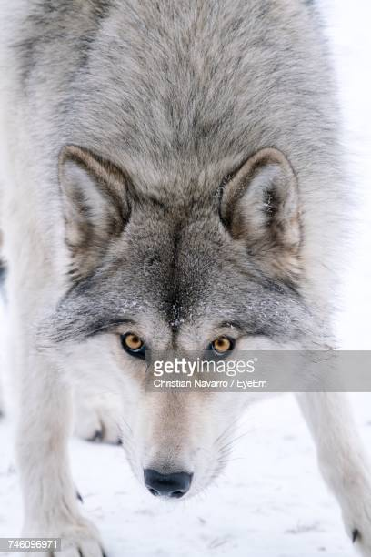 Portrait Of Wolf Standing On Snow Covered Field