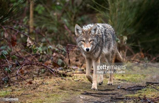 portrait of wolf walking in forest - coyote stock pictures, royalty-free photos & images