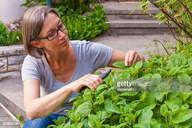 Portrait of woman cutting lemon balm, Melissa officinalis, with gardening clipper