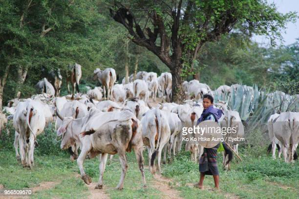 portrait of woman with cows walking on field against trees - ko ko htike aung stock pictures, royalty-free photos & images