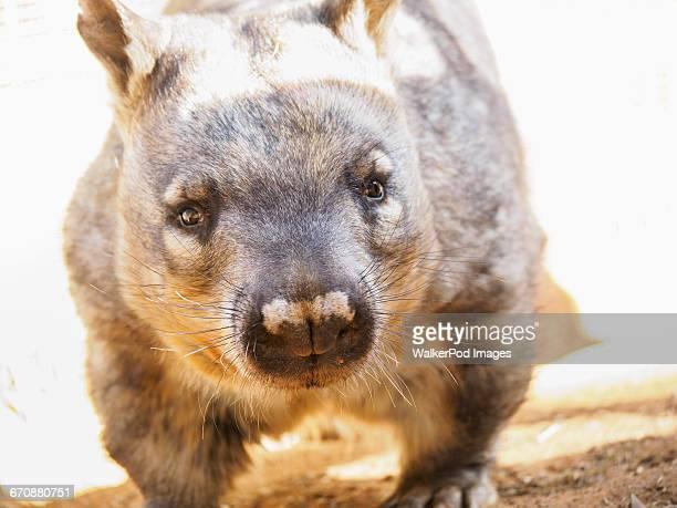 Portrait of wombat (Vombatus ursinus)